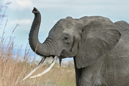 African_elephant_warning_raised_trunk